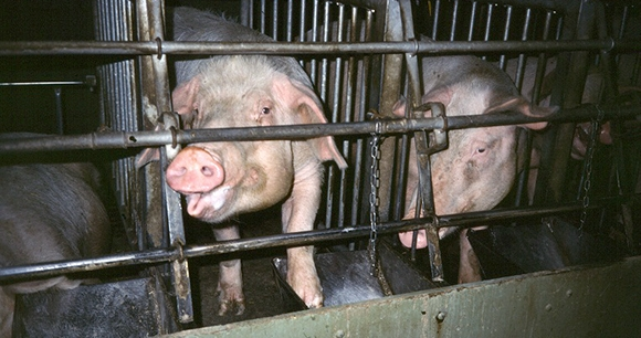 caged pigs